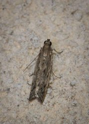 Phycitodes sp Champarnaud Claude Rochefort 17 13082016 {JPEG}
