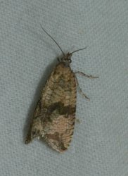 Celypha striana West Hazel et Ron Agudelle 17 06082015 {JPEG}
