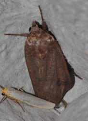 Noctua pronuba West Hazel et Ron Saint-Sorlin de Conac 17 28092014 {JPEG}