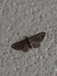Gymnoscelis rufifasciata Ceylo Dominique Royan 17 21122012 {JPEG}
