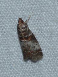 Trachycera advenella West Hazel Saint-Ciers du Taillon 17 28082016 {JPEG}