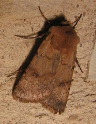 Agrotis cinerea (Denis & Schiffermüller, 1775) {JPEG}