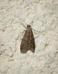 Ephestia unicolorella Champarnaud Claude Rochefort 17 09052016 {JPEG}