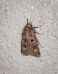 Agrotis trux Champarnaud Claude Rochefort 17 03092016 {JPEG}