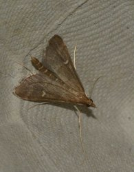 Dolicharthria punctalis West Hazel et Ron La Clotte 17 28062015 {JPEG}