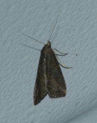 Schrankia costaestrigalis West Hazel La Clotte 17 27092016 {JPEG}
