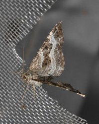 Epirrhoe alternata West Hazel et Ron La Clotte 17 05062015 {JPEG}