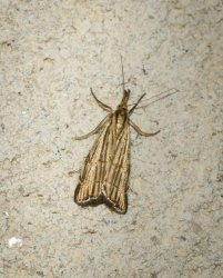 Chrysocrambus craterellus Champarnaud Claude Rochefort 17 26062016 {JPEG}