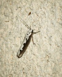 Ethmia bipunctella Champarnaud Claude Rochefort 17 29062016 {JPEG}