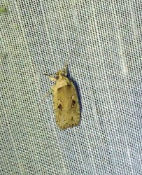 Agonopterix ocellana Charles Genevieve Torxé 17 24062017 {JPEG}
