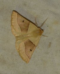 Crocallis elinguaria West Hazel Saint-Trojan-les-Bains 17 09072015 {JPEG}