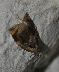 Archips crataegana West Hazel et Ron La Clotte 17 05062015 {JPEG}