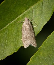 Cnephasia sp Champarnaud Claude Annezay 17 13072016 {JPEG}
