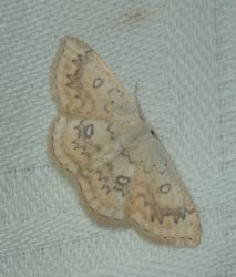 Cyclophora annularia Champion & Terrisse Geay 17 28082016 {JPEG}