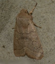 Orthosia cerasi West Hazel et Ron La Clotte 17 22042015 {JPEG}