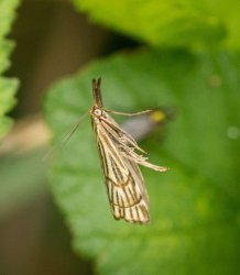 Chrysocrambus craterellus Champarnaud Claude Ballon 17 22062016 {JPEG}