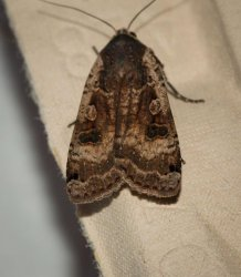 Noctua pronuba Champarnaud Claude Rochefort 17 21062016 {JPEG}