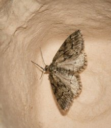 Tephronia sepiaria Champarnaud Claude Rochefort 17 07072016 {JPEG}