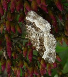 Epirrhoe alternata Champion Emmanuelle Archingeay 17 13092015 {JPEG}