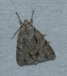 Triaena sp West Hazel La Clotte 17 08082016 {JPEG}