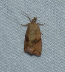 Celypha striana West Hazel La Clotte 17 31082016 {JPEG}