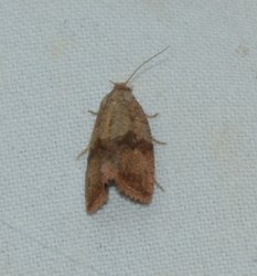 Celypha striana West Hazel Saint-Ciers du Taillon 17 28082016 {JPEG}