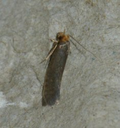 Cephimallota crassiflavella West Hazel La Clotte 17 26072016 {JPEG}