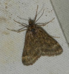 Pyrausta despicata West Hazel et Ron Saint-Sorlin de Conac 17 14042015 {JPEG}