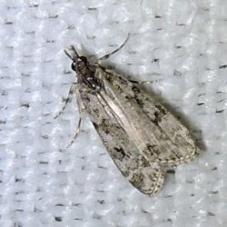 Scoparia subfusca (sp) Charles Geneviève Archingeay 17 05072016 {JPEG}