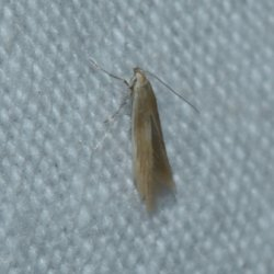 Coleophora sp West Hazel La Clotte 17 08082016 {JPEG}
