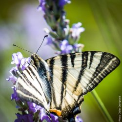 Iphiclides podalirius Darrigand Didier Melle 79 24072016 {JPEG}