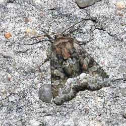 Oligia sp Rebeyrol Christian Niort 79 22052009 {JPEG}