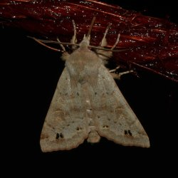 Orthosia munda West Hazel et Ron Saint-Sorlin de Conac 17 22022016 {JPEG}