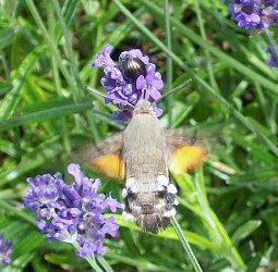 Macroglossum stellatarum Boursault Michel Saint Florent 18 21062009 {JPEG}