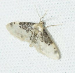 Idaea filicata Laluque Olivier Grand-Village Plage 17 09092015 {JPEG}