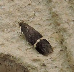 Syncopacma sp Charles Genevieve Saint-Jean d-Angely 17 18072015 {JPEG}