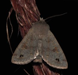 Orthosia munda West Hazel et Ron Saint-Sorlin de Conac 17 10032015 {JPEG}