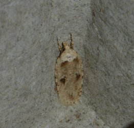 Agonopterix sp West Hazel La Clotte 17 09062016 {JPEG}