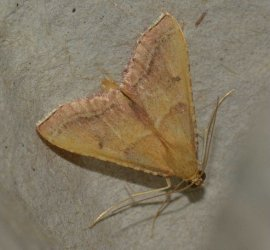 Endotricha flammealis West Hazel et Ron La Clotte 17 28062015 {JPEG}