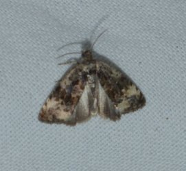Endothenia oblongana West Hazel Corignac 17 12092016 {JPEG}