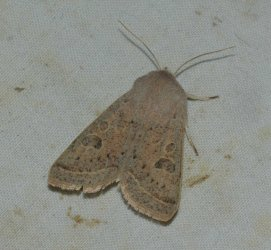 Orthosia gracilis West Hazel Corignac 17 05042016 {JPEG}