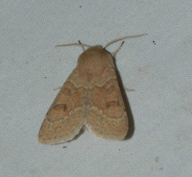 Orthosia miniosa West Hazel La Clotte 17 02042016 {JPEG}