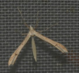 Stenoptilia grisescens West Hazel et Ron La Clotte 17 28062015 {JPEG}