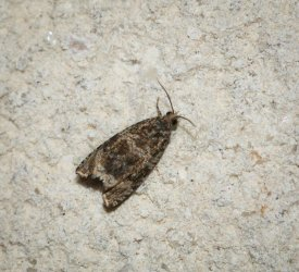 Argyroploce lacunana Champarnaud Claude Rochefort 17 21072016 {JPEG}
