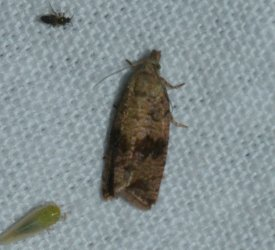 Celypha striana West Hazel Saint-Dizant du Gua 17 22062016 {JPEG}