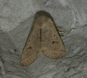 Orthosia cruda West Hazel et Ron Saint-Sorlin de Conac 17 10022016 {JPEG}