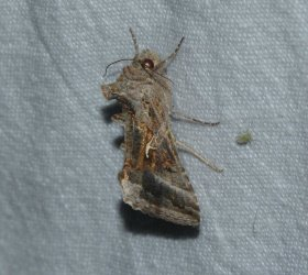 Autographa gamma West Hazel La Clotte 17 08062016 {JPEG}