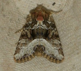 Oligia strigilis -sp- West Hazel et Ron Agudelle 17 18052015 {JPEG}