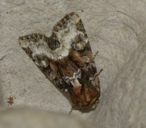 Oligia sp West Hazel et Ron La Clotte 17 11052015 {JPEG}