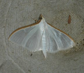 Palpita vitrealis West Hazel et Ron Saint-Sorlin de Conac 17 11112015 {JPEG}